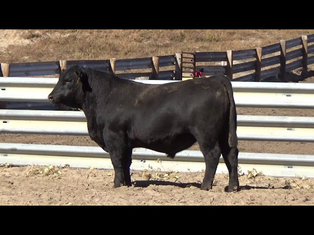 Connealy Angus Lot 148