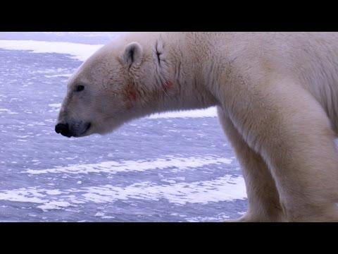 Churchill, Canada: Where Polar Bears Stalk Humans