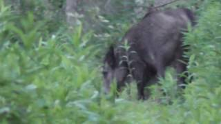 Polowanie na dziki, Wild boar hunting, Wildschweine jagd