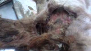 Repeat youtube video IMAGENS FORTES Atendimento animal sendo consumido por bicheira