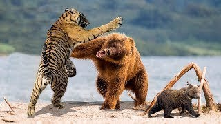 Wild Animals 2019 - What is the most powerful animal in the world ? - Tiger vs Bear vs Lion