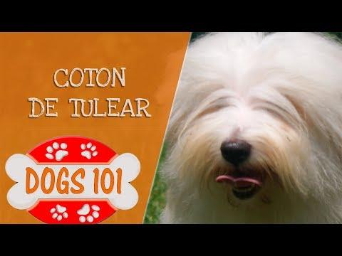 Dogs 101 - Coton De Tulear - Top Dog Facts About the Coton De Tulear