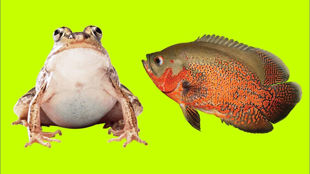 The Oscar Fish Vs The Bull Frog  - Oscar Fish Feeding