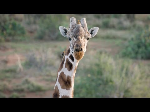 Crowdsourcing Giraffe Conservation