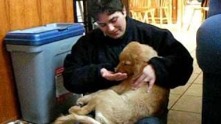 Lady The Golden Retriever Pup