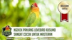 Ngekek Panjang Lovebird Kusumo Sangat Cocok Untuk Masteran