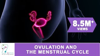 OVULATION & THE MENSTRUAL CYCLE