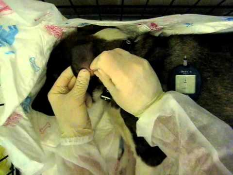 Экспресс метод измерения глюкозы животным.