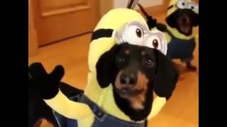 Dogs Minions Perros Salchicha Dachshund