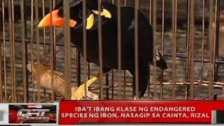 Gambar cover Iba't ibang klase ng endangered species ng ibon, nasagip sa Cainta, Rizal