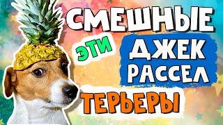 Эти смешные и забавные джек рассел терьеры/Часть 1/Funny Jack Russell Terrier Dogs Video Collection