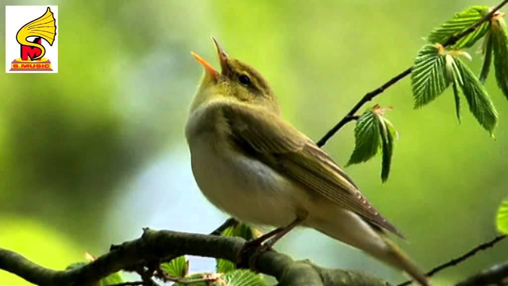 Singing birds chirping pleasant morning music = Bird Sound for Children