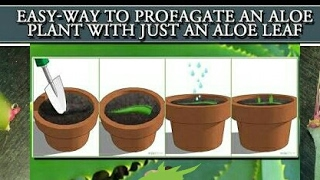 Grow Aloe vera from a single leaf | How to grow big Aloe Vera  from a single aloe vera leaf(part -2)