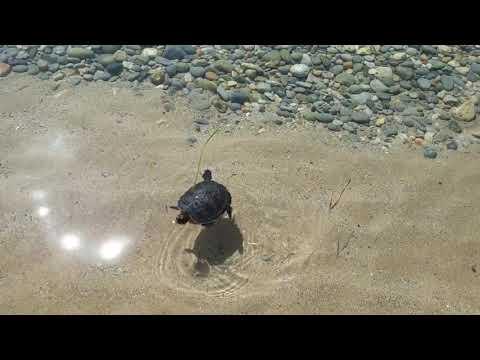 Χελωνάκι στην παραλία Άμμος