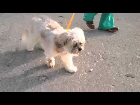 sara-lee-the-lhaso-apso-walking-day-after-dr.-cooper-performed-back-surgery