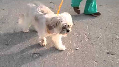 hqdefault - Back Pain Lhasa Apso