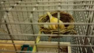Разведение канареек  Парочка 8 день вместе.  Два яйца в гнезде. Канарейка высиживает яйца.