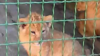 Тигрята-котята