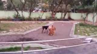 Funny Dogs Playing With Eachother | Labrador Retrievers | Doberman | Beagles