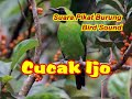 Suara Pikat Burung Cucak Ijo  Mp3 - Mp4 Download
