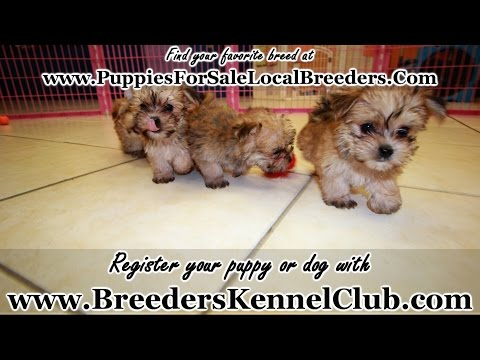 Morkie, Puppies For Sale, In Mobile, County, Alabama, AL, 19Breeders, Tuscaloosa, Decatur