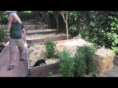 Grow Cannabis – Jorge's Garden Day 4 Part 3– by Jorge Cervantes