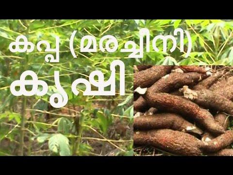 Tapioca (kappa)Farming Tips