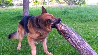 German Shepherd Lift A 45 Pound Log