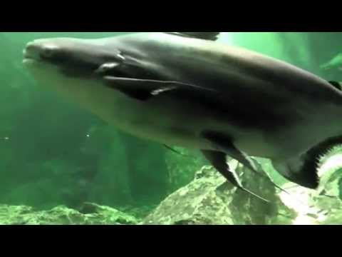 Giant Pangasius,Chao Praya Giant Catfish, Wang Pla Aquarium, Bang Sai