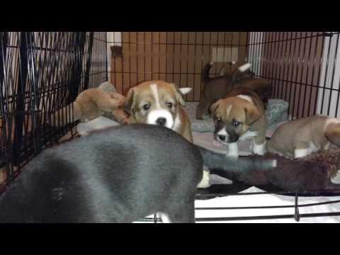 PuppyFinder.com : Basenji Puppies