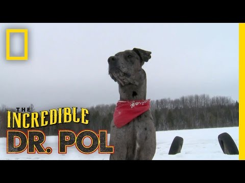 Charles' Great Dane  The Incredible Dr. Pol