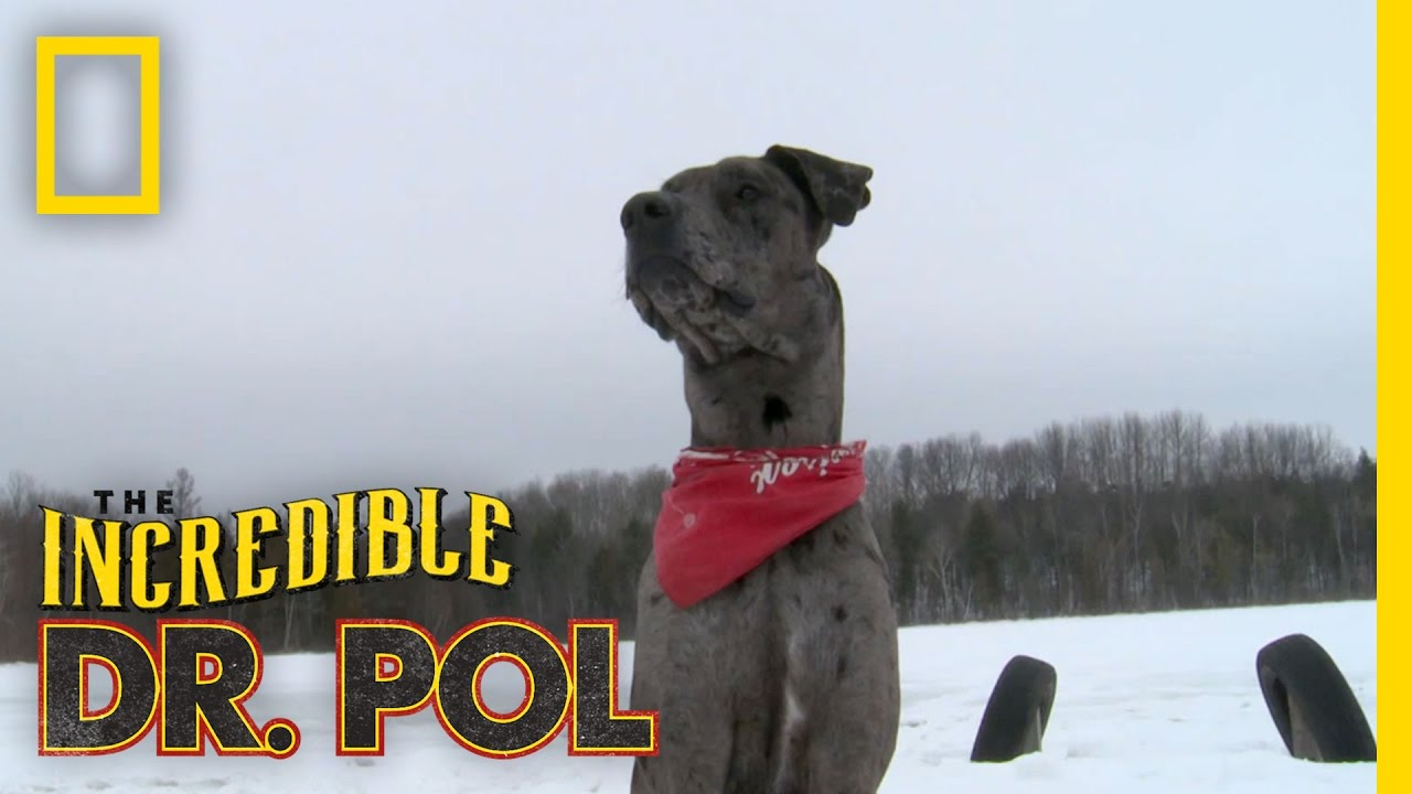 Charles Great Dane | The Incredible Dr. Pol