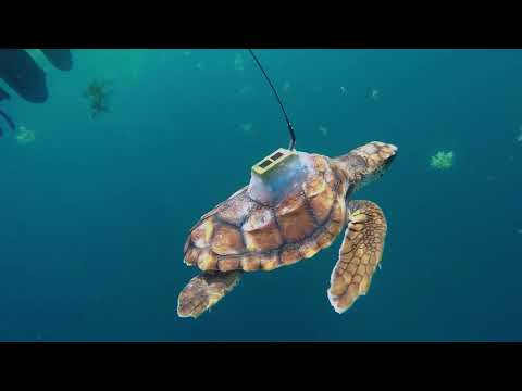 Sea Turtle Satellite Tag Tracking