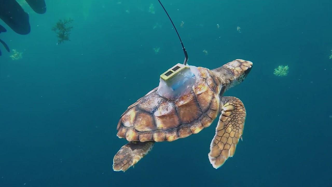 Sea Turtle Satellite Tag Tracking Youtube