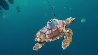 Sea Turtle Satellite Tag Tracking