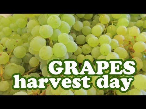 Harvesting Grape Fruits Harvest Season Growing Thompson Seedless Grapes Variety Jazevox Garden