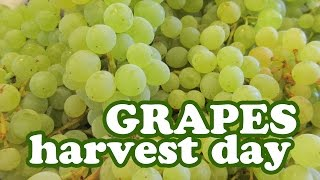 Harvesting Grape Fruits Harvest Season Growing Thompson Seedless Grapes Variety Jazevox Garden Video