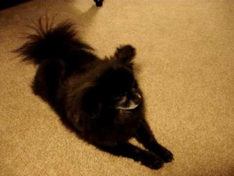 Unusual barking / howling / talking dog