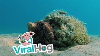 Octopus Masterfully Camouflages Itself as a Rock || ViralHog