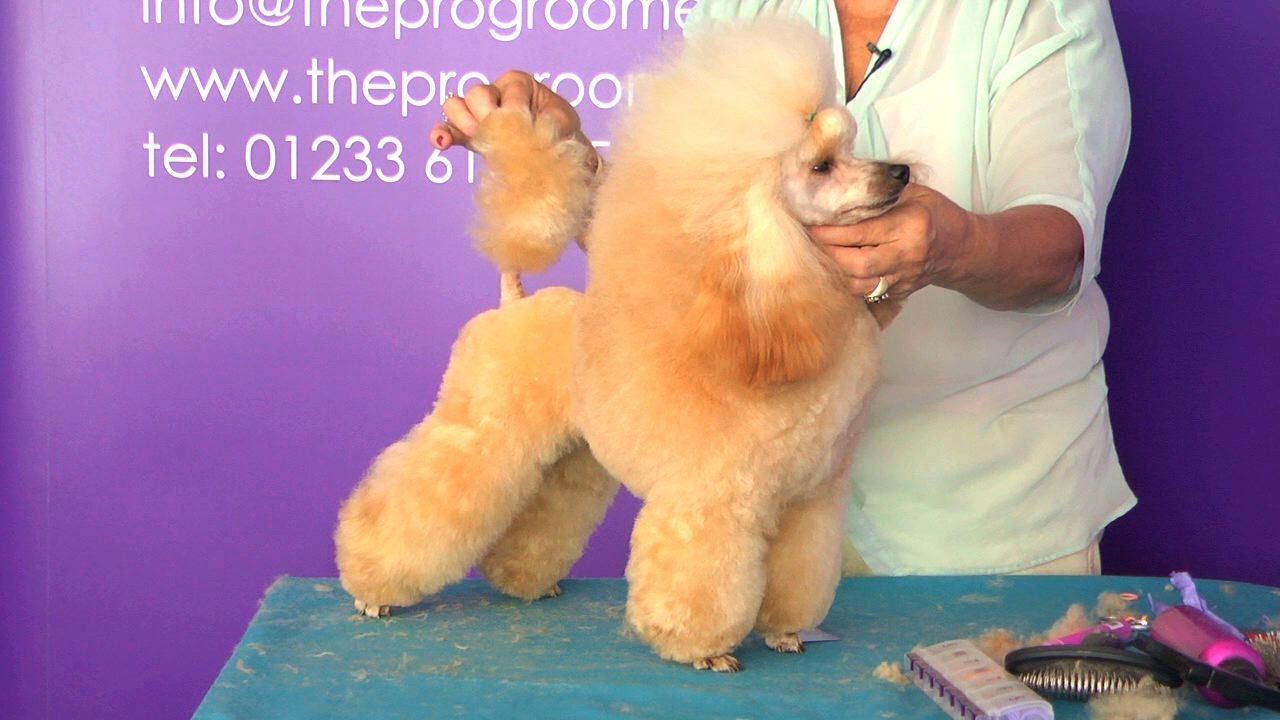 Pro Groomer Grooming Guide Taster Toy Poodle Show Youtube