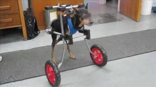 """""""jacob"""" Miniature Pinscher In Dog Wheelchair"""