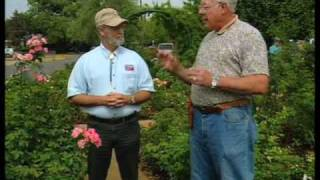 How to Fertilize & Deadhead Roses