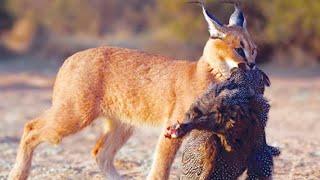 Элита кошачьего спецназа - КАРАКАЛ В ДЕЛЕ! Маленький, но очень УМЕЛЫЙ охотник!