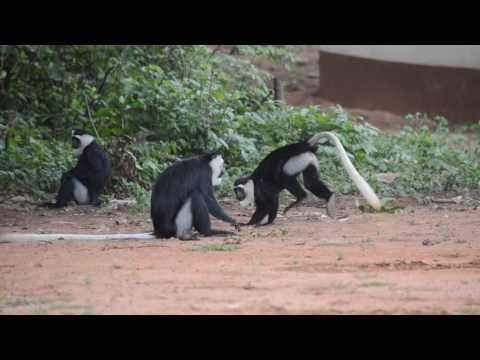Colobus vellerosus monkeys playing