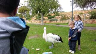 Kid bitten by pelican