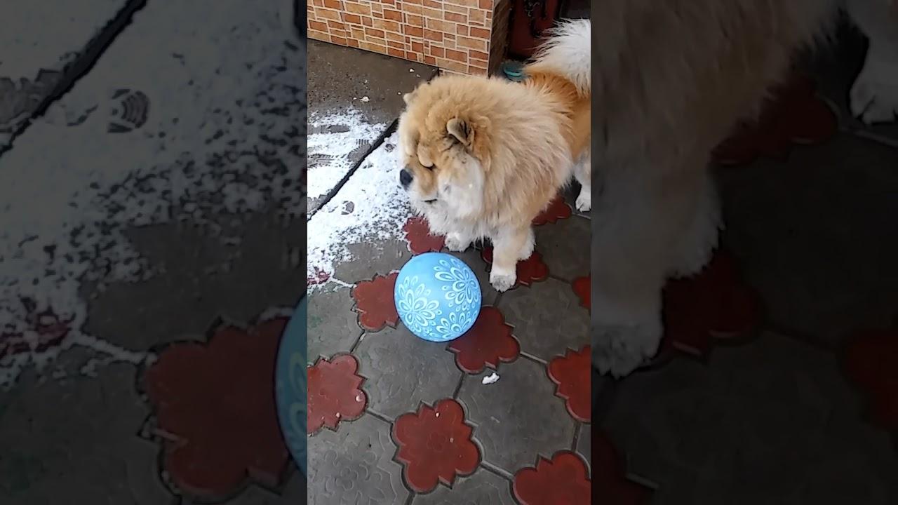 Шон с мячом, чау чау, собака супер - YouTube