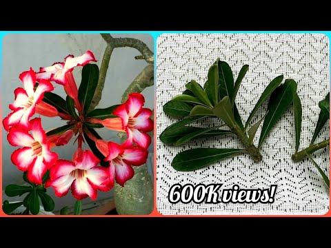 How to grow Adenium from cuttings | Gardening Tips and Treats   #adenium #adeniumcuttings #cuttings