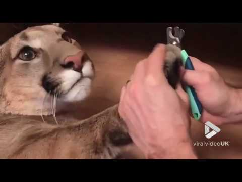 Owner cuts his domesticated cougar's claws