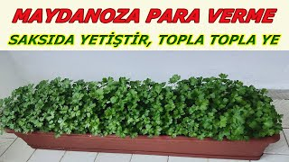 Tricks of growing parsley in flower pots, Growing parsley on the balcony, How to plant parsley