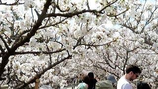 2018年/京都 御室 仁和寺 満開の桜